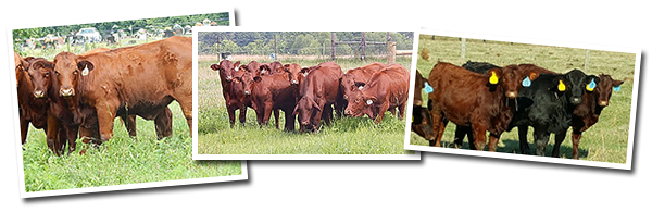 Females for sale at Goodin Farms